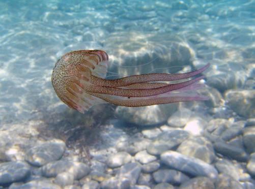 unos incomodos acompañantes...las medusas