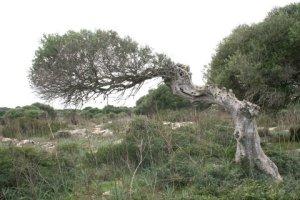 La tramuntana fa que els arbres, s'agenollin al seu pas